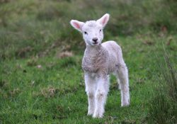 Qurbani Lamb Eid Halal