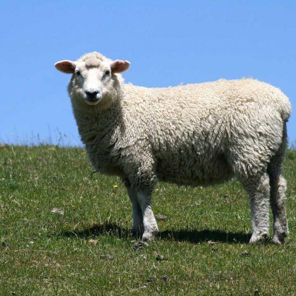 Qurbani Lamb Hogget Sheep
